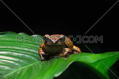 Close up portrait of Polypedates megacephalus, the Hong Kong whipping frog or brown spot legged tree frog, sitting on green palm leaf, low angle, front view