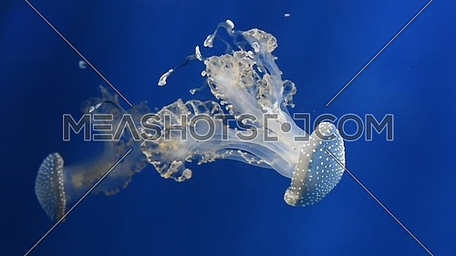 Close up group of jellyfishes or jellies swimming in aquarium water in blue light over dark background, low angle view