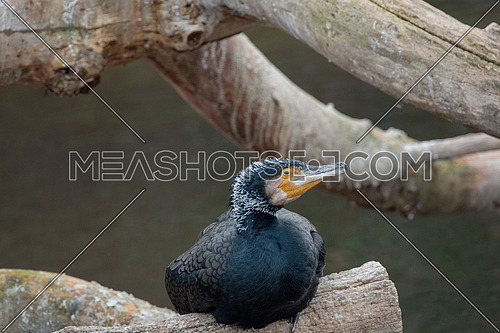 The great cormorant (Phalacrocorax carbo) known as the great black cormorant
