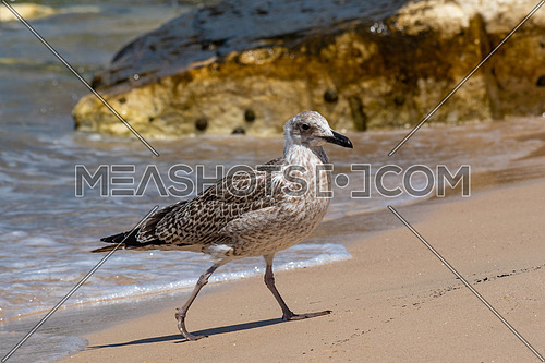 Portrait of Juvenile yellow-legged gull (Larus michahellis) bird in natural environment