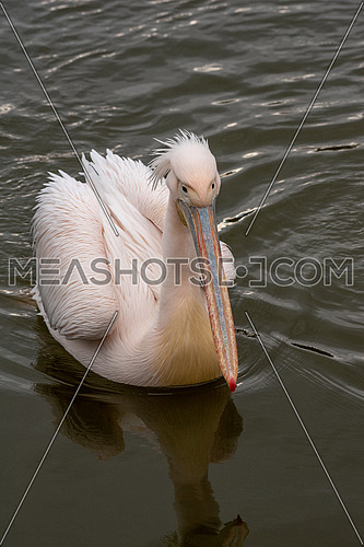 Pink Pelican (Pelecanus onocrotalus) in the wild. Disappearing species of feathered animals.