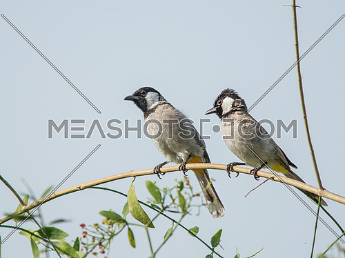 two White eared nightingales on a tree branch