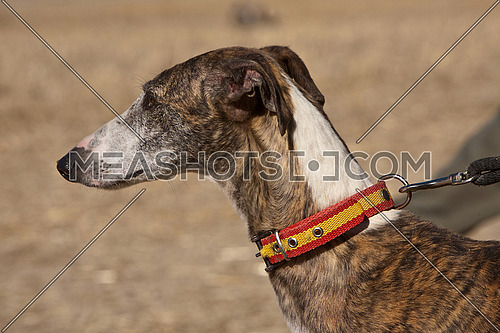 The Greyhound is a breed of dog native of Spain, so it is also known as Spanish galgo.