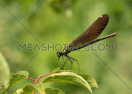 View on a Beautiful demoiselle in the Morning Light. Close-up of  Dragonfly at the Lake. Dragonflies (Calopteryx virgo). A Dragonfly sits on a green Leaf
