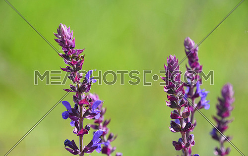 Purple sage salvia flowers over green summer meadow background