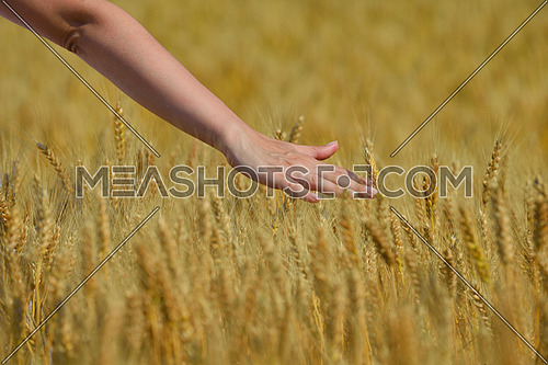 Hand in wheat field. Harvest and gold food agriculture  concept