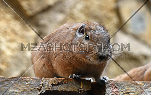 Close up portrait of Gundi comb rat, African rodent, sitting on stone and looking at camera, low angle view