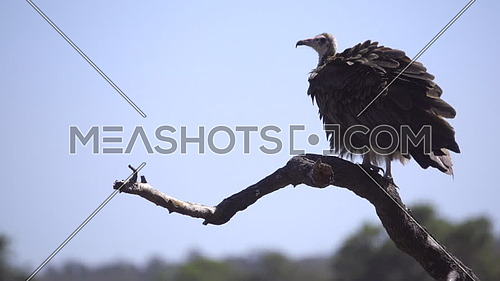 Scene of a Hooded vulture fluffing up feathers