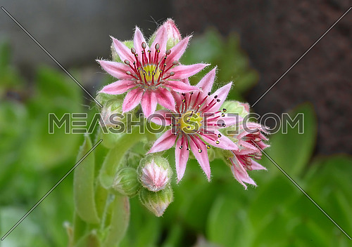 Close up of common houseleek (Sempervivum Tectorum.) in full bloom