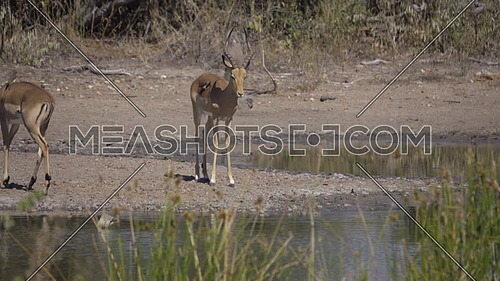 Scene of two Impala rams near a water hole