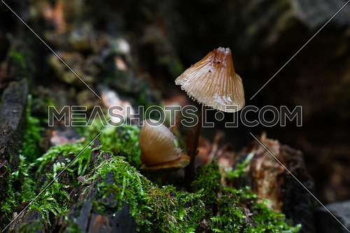 Close up toadstools, poisonous mushrooms in green moss, low angle view