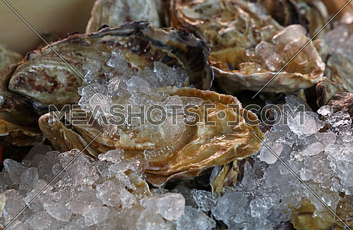 Fresh big raw oysters unopen in shells on crushed ice in wooden display box on fish market, close up