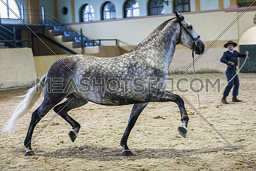 Spanish horse of pure race taking part during an exercise of equestrian morphology in Estepona, Malaga province, Andalusia, Spain
