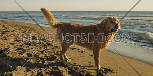 Golden Retriever on beach during autumn day