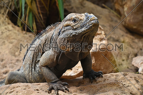 Close up profile portrait of male rhinoceros iguana (Cyclura cornuta) resting on rocks and looking at camera, low angle view