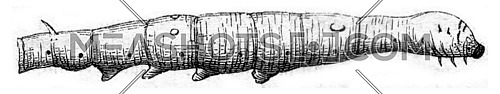 Worm at the end of the fifth age, vintage engraved illustration. Magasin Pittoresque 1845.