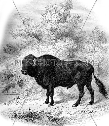 Museum of Natural History in Paris, The Taurus Azores, vintage engraved illustration. Magasin Pittoresque 1861.