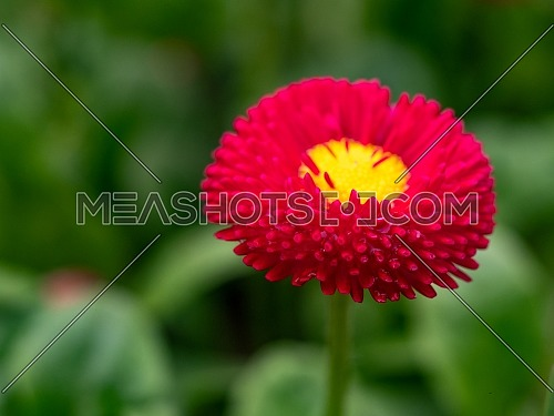 English daisy or bellis perennis plant with colorful pink and white flowers macro closeup. Shallow depth of field, selective focus