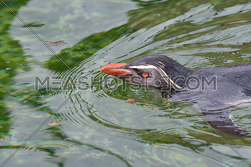Northern rockhopper penguin (Eudyptes moseleyi) in water.