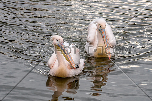 Pink Pelican (Pelecanus onocrotalus) in the wild. Disappearing species of feathered animals