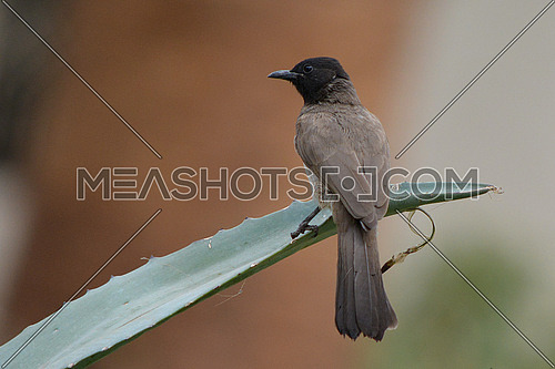 Common Bulbul on a plant