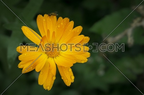 Colorful bright yellow flower with raindrops or dewdrops on the petals viewed top down in close up against a green leaf background with copy space