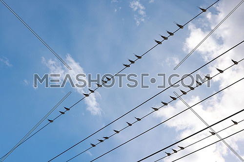 Many swift, swallow or martlet birds perching on wires over background of blue sky with copy space, low angle view