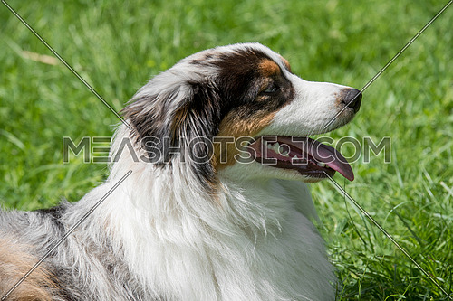 Australian Shepherd dog lying down outdoors in summer