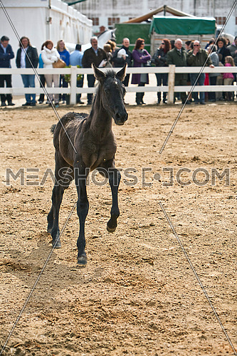 Foal of pure breed Spanish running in equestrian event, Spain