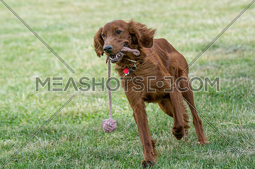 Red Irish Setter running ,selective focus on the dog