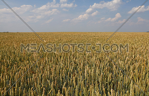Field of green and ripe wheat or rye ears under clear blue sky, high angle view