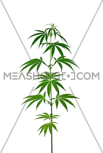 Close up one small fresh green cannabis or hemp plant isolated on white background, low angle side view
