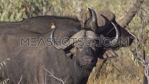 View of an Oxpecker perched on back of Cape Buffalo