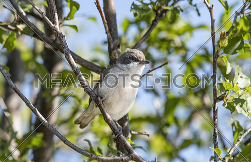 Wild lesser whitethroat or Sylvia curruca perching on a branch of a tree