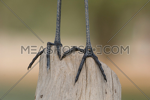 Legs of Great white Egret standing on a tree root