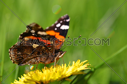 Monarch butterfly on a yellow dandelion flower