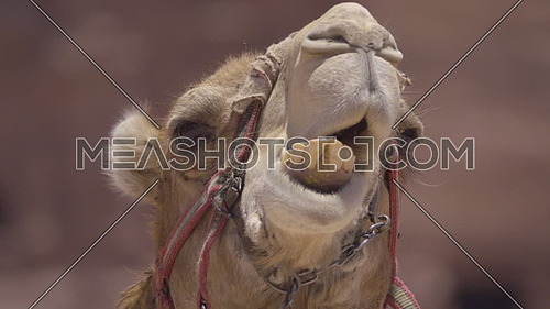 Extreme close up of a camel while chewing