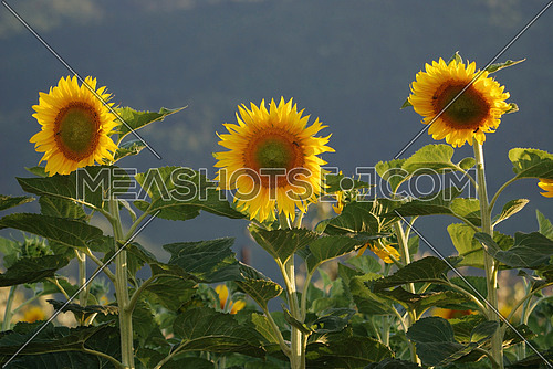 sunflowers field   (NIKON D80; 6.7.2007; 1/160 at f/5.6; ISO 200; white balance: Auto; focal length: 135 mm)