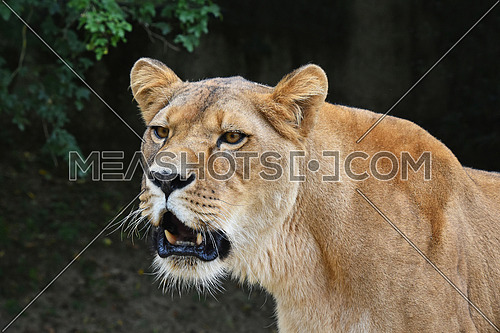 Close up portrait of beautiful mature female African lioness looking aside of camera over dark background and roaring, low angle view
