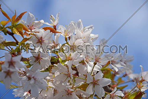 Branch of white cherry blossom sakura flowers with green leaves and fresh new buds over cloudy blue sky background close up