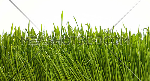 Spring fresh green grass greenery with raindrops after the rain or dew over white background, low angle view, close up