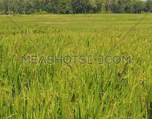 The Scenery with Yellow Rice Fields, a Sparrow Perched on The Stem of Rice for Food
