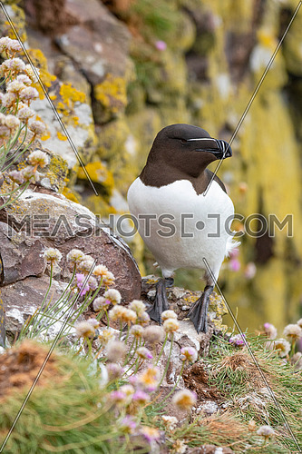Razorbill (Alca Torda) perched on the rocks in Scotland