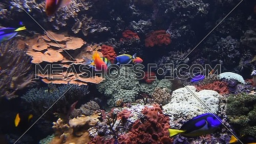 Underwater panorama, vivid colorful multicolor small and big tropical see fishes in aquarium with corals, algae weed and grass, close up