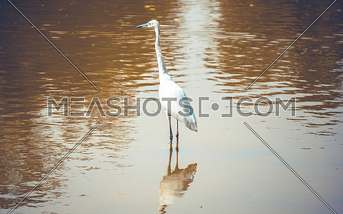 Great Egret In Giza Zoo lake