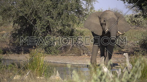 View of a bull elephant drinking water from its trunk