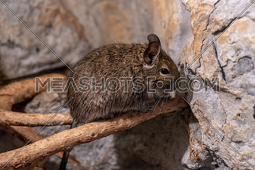 Degu also known as a bushy tail rat. It is a native of Chile. Untamed degus as with most small animals can be prone to biting but their intelligence makes them easy to tame