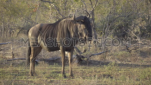 Scene of a Wildebeest standing alone in the morning