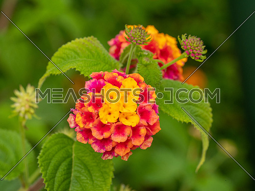 lantana flower blooming in the colour violet and yellow on canary islands - Lantana camara