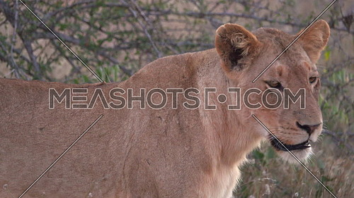 Scene of a lion looking at camera and walking away